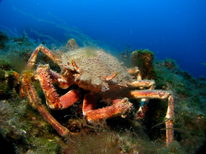 A Large Crab