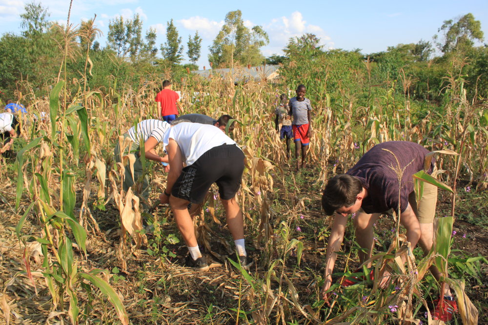 Removing Striga from a field next to Kinda Biye