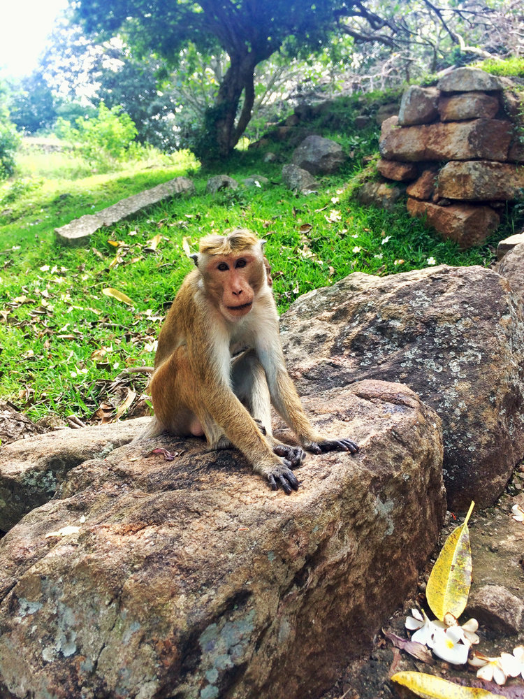 srilanka monkey.jpeg