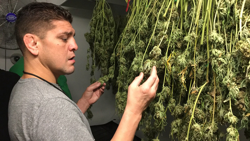 Nick Diaz fingers some buds, admiringly.
