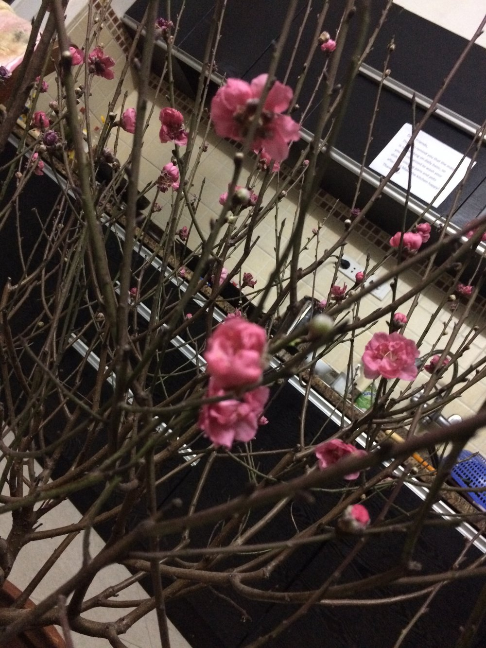 Currently hanging out with the cherry blossom tree my landlord gave us for the Tet Holiday (2).