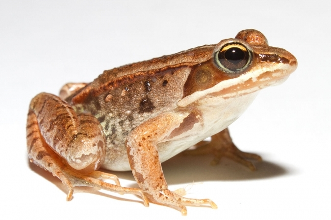 Wood frog image accessed from  Wikimedia Commons , taken by  biologist Brian Gratwicke.