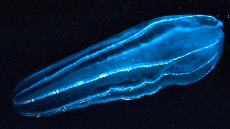 The zooplankton Beroidae use their hair-like projections called cilia to propel through the water. U.S. NOAA/ WIKIMEDIA COMMONS