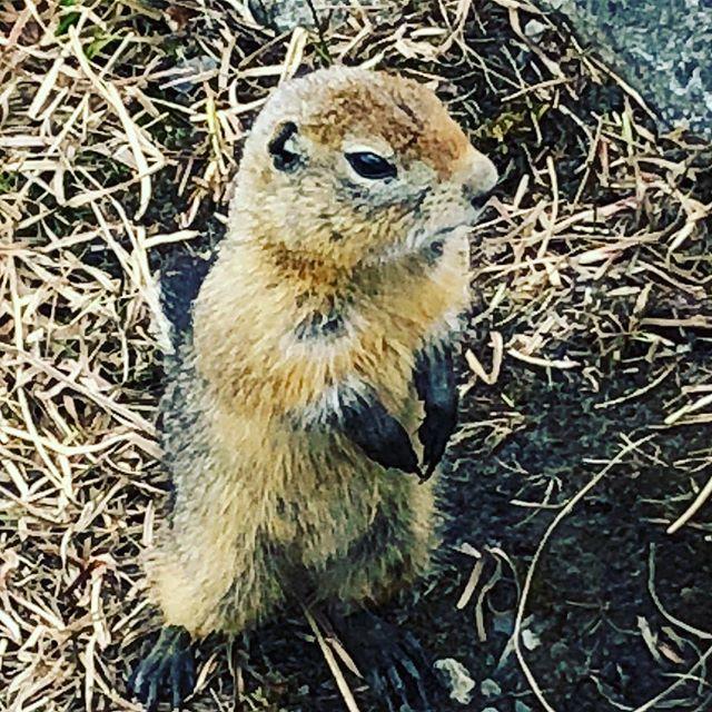 Hello, friend! #arcticgroundsquirrel #denalinationalpark