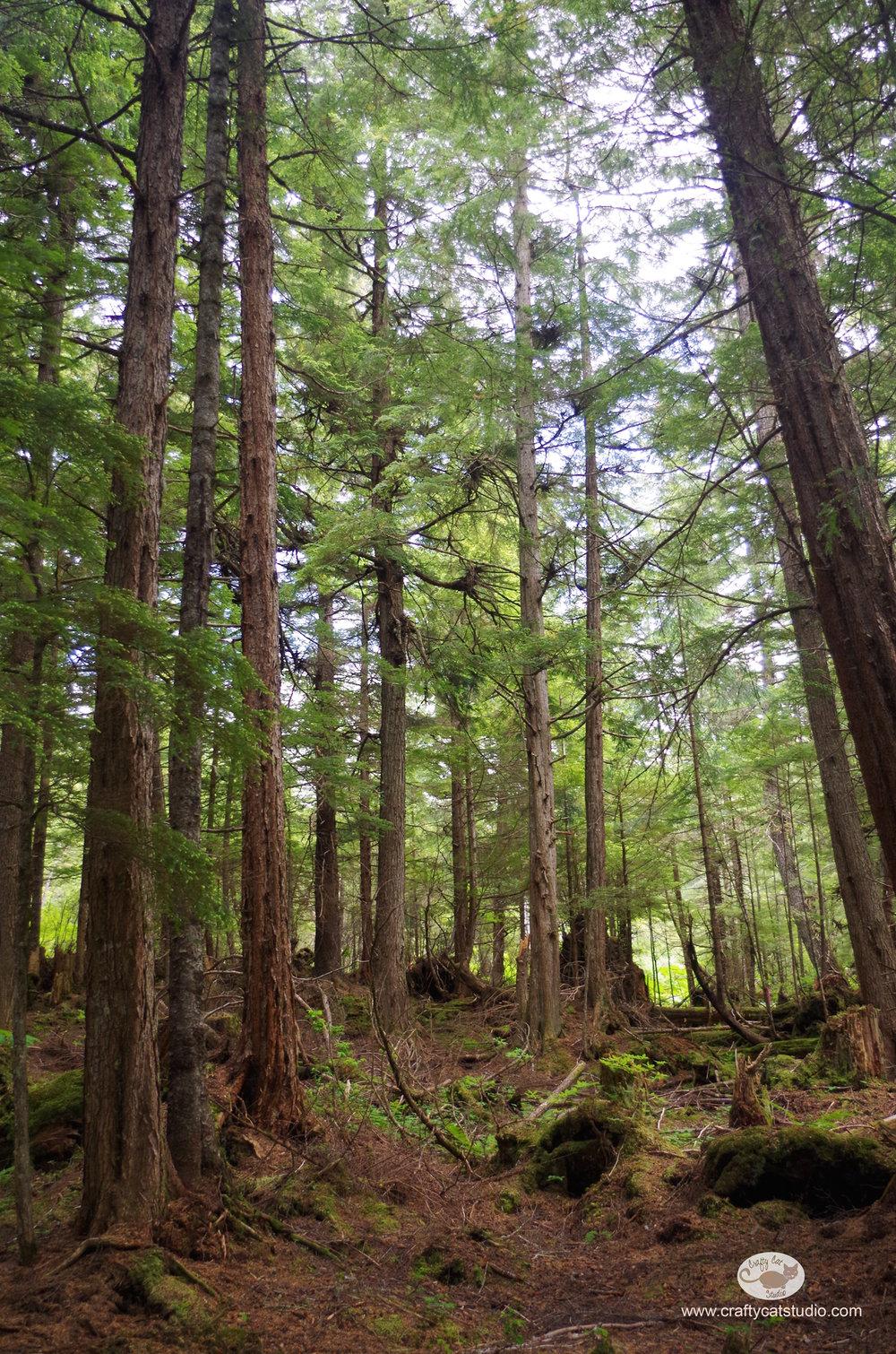 icyStraitPoint-Trees1.jpg