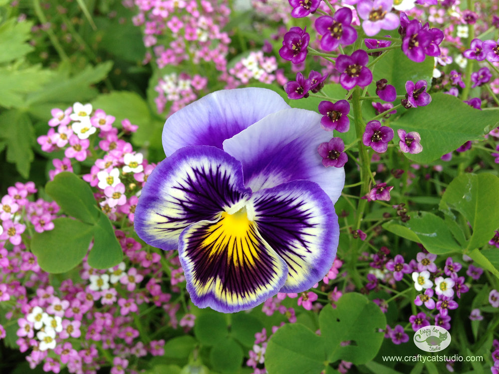 purple pansy and alyssum
