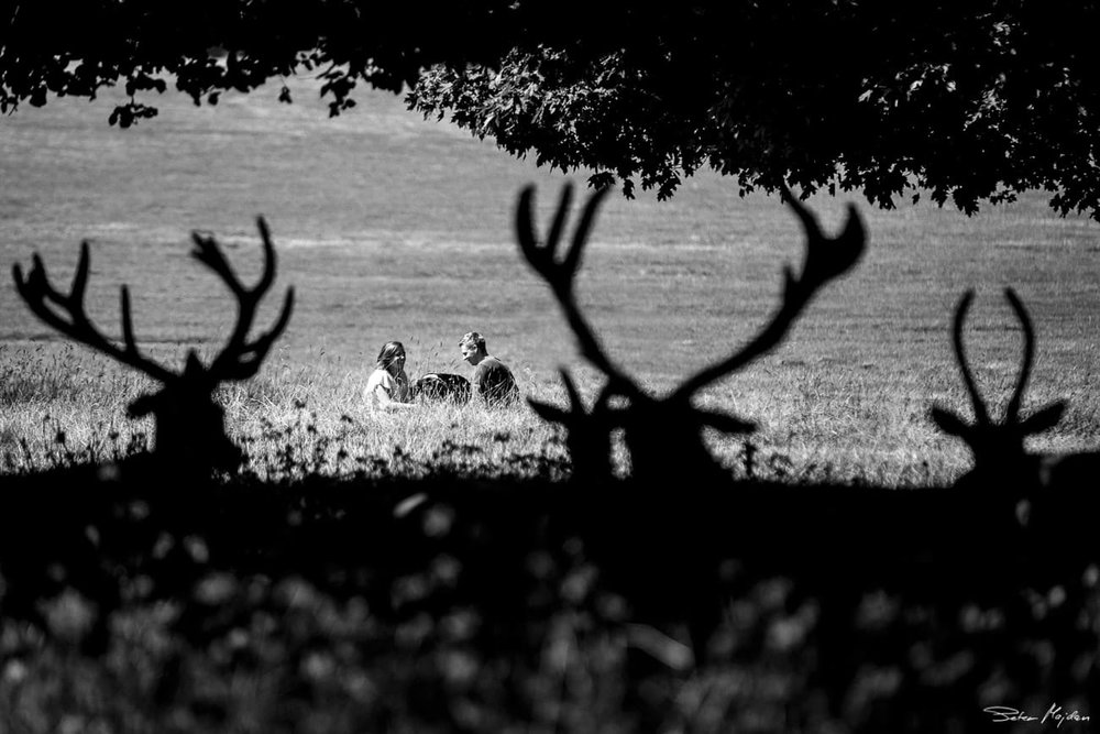 deer looking at engaged couple
