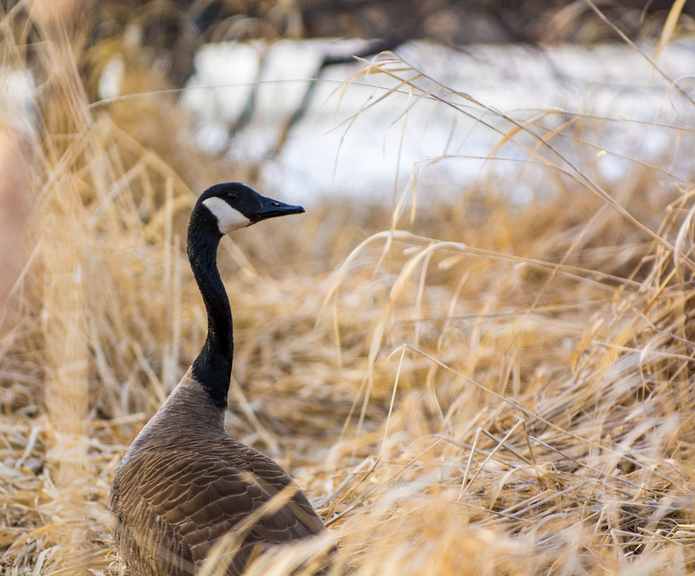 Goose in the brush