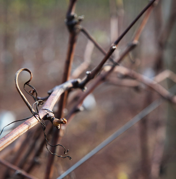 Ataraxia vineyards.jpg