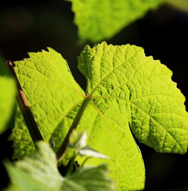 Ataraxia vineyards 2.jpg
