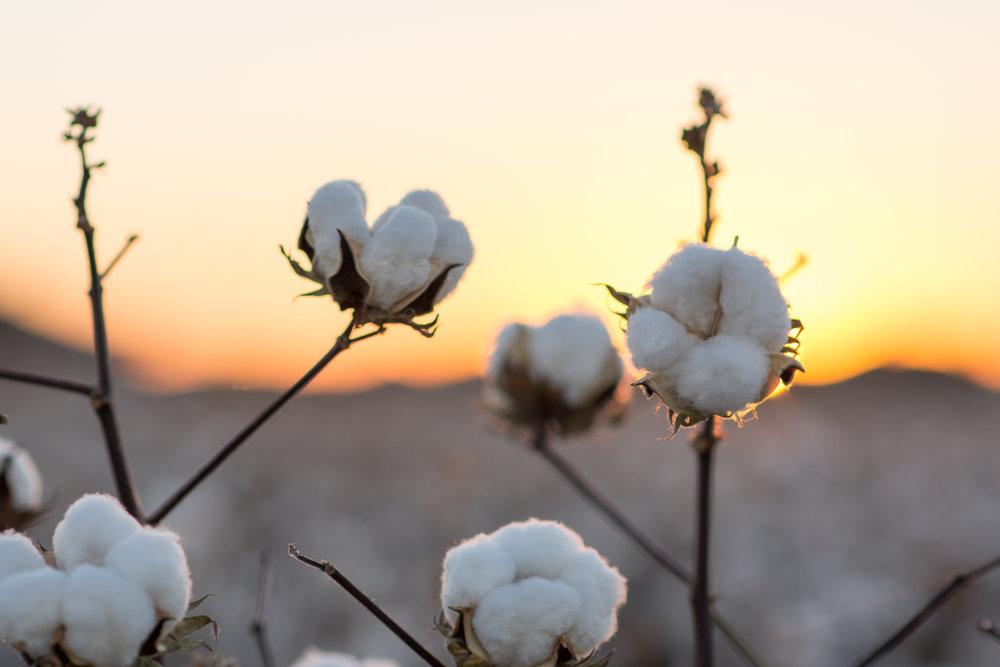Cotton-13.jpg