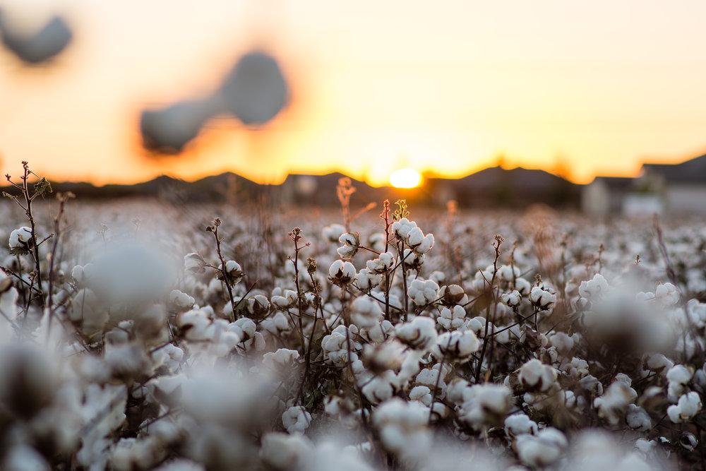 Cotton-14.jpg