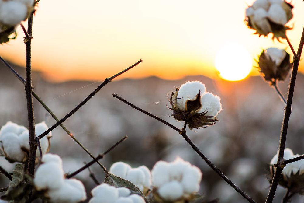 Cotton-15.jpg