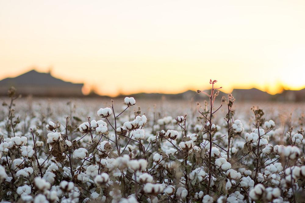 Cotton-20.jpg