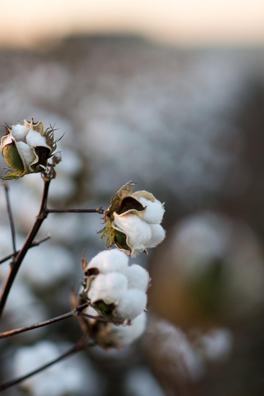 Cotton-21.jpg