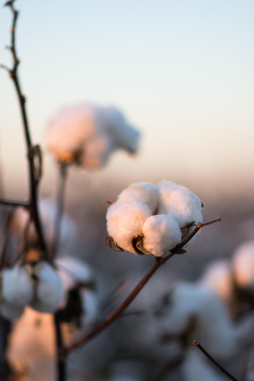 Cotton-25.jpg