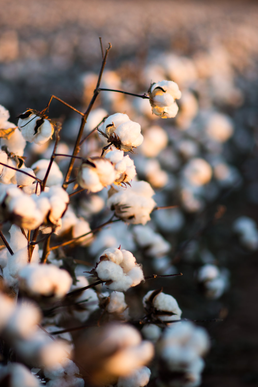 Cotton-29.jpg