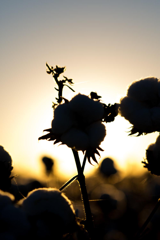 Cotton-45.jpg