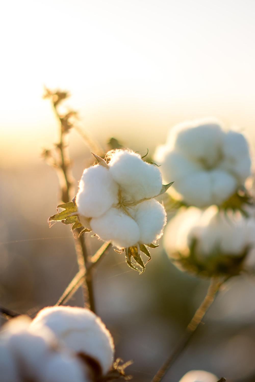 Cotton-46.jpg