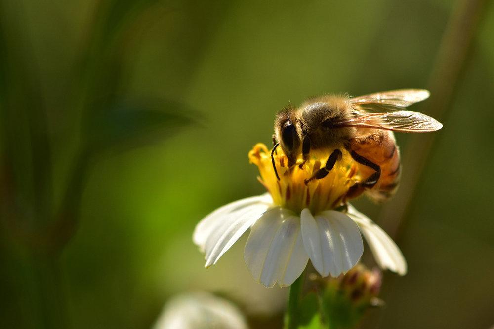Čebele in njihov izjemen doprinos - Slovenski narod je globoko povezan s čebelarstvom, kar govori tudi dejstvo, da je na teh tleh prisotna avtohtona vrsta. To izjemno bitje častile so stare civilizacije, čebela pa še danes uči in govori o pomembnosti sodelovanja, geometriji in blaginji.