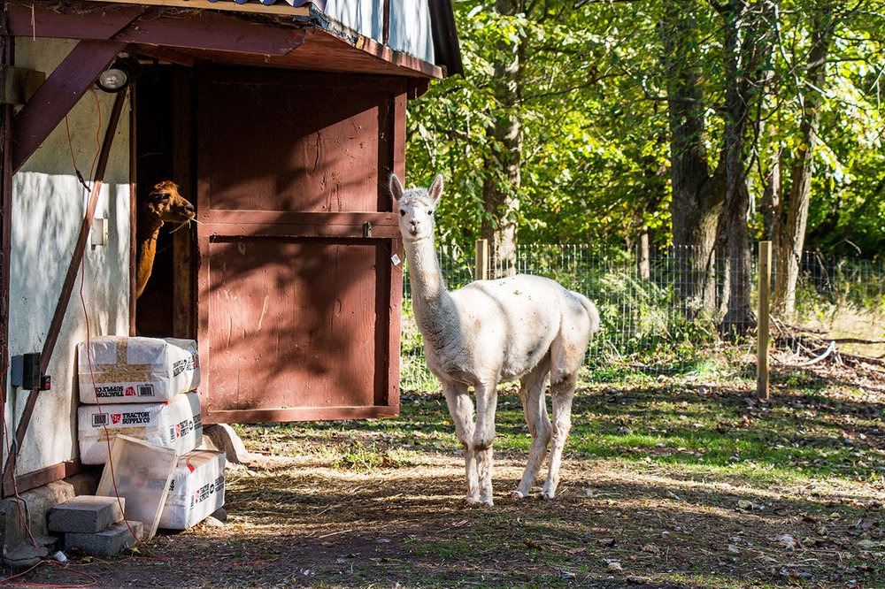 home alpacas 1.jpg