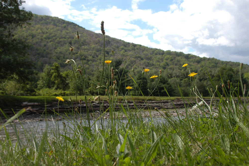 home river bank, wild flowers.jpg