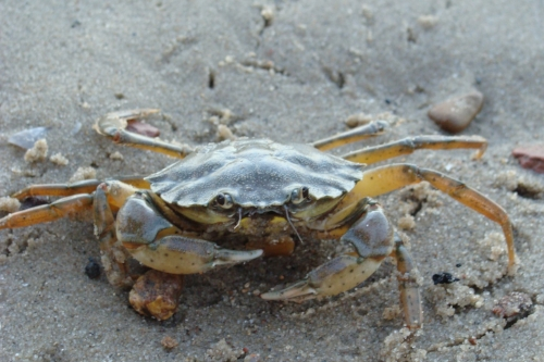 Common_shore_crab_1.JPG