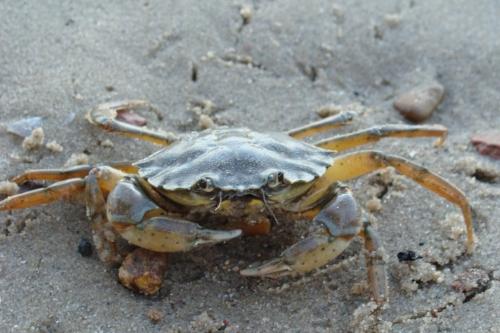 Common_shore_crab_1.JPG