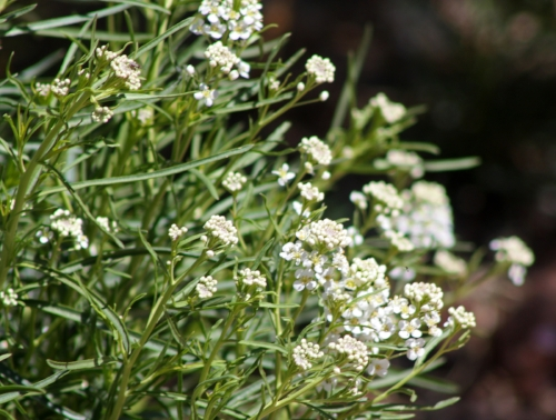 Lepidium_montanum_var._glabrum_mountain_pepperweed.jpg