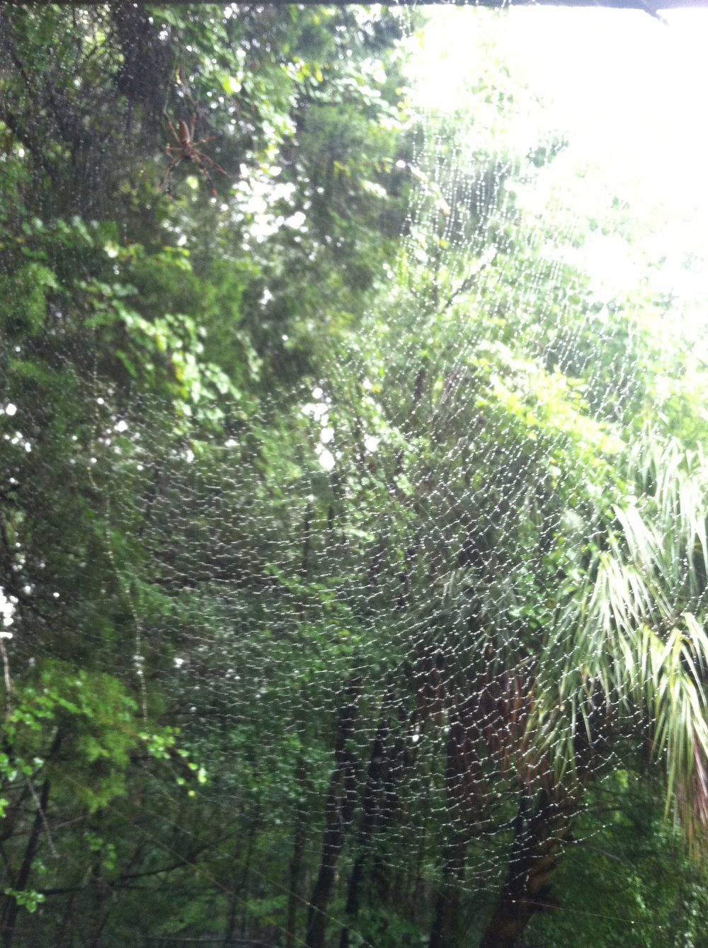 Huge Golden Orb-Weaver webs are all around the barn.