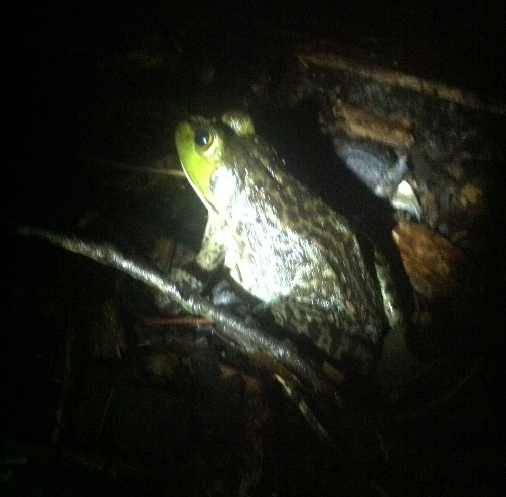 I almost stepped on this giant bullfrog as I returned to my work bench late at night. I guess the increased insect population due to the bright lights of the workspace lured him out of his swampy home.