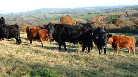 cows1.jpg