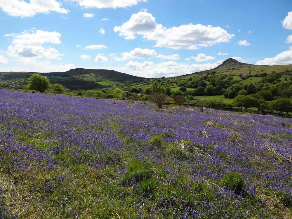 Blue Bells on Notter Tor