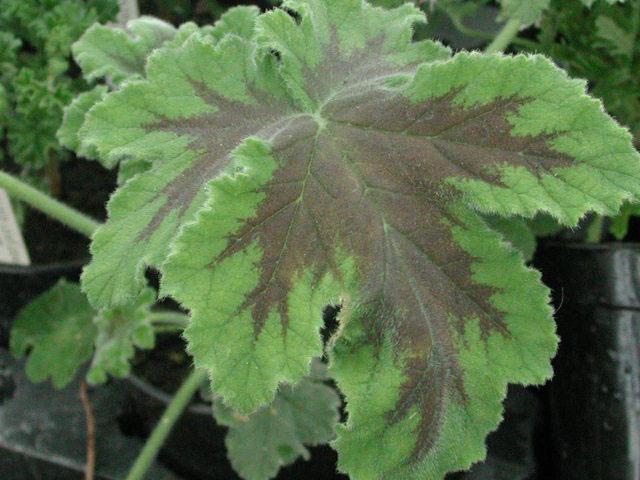 Pelargonium 'Chocolate Peppermint' - (Doftpelargon-Gruppen)Doft av pepparmint och något extra. Ljust lila blom. Bladen är friskt göna, spetsigt flikade med sågade kanter och mörk mitt. Kraftfull växt.Pris: 55:-
