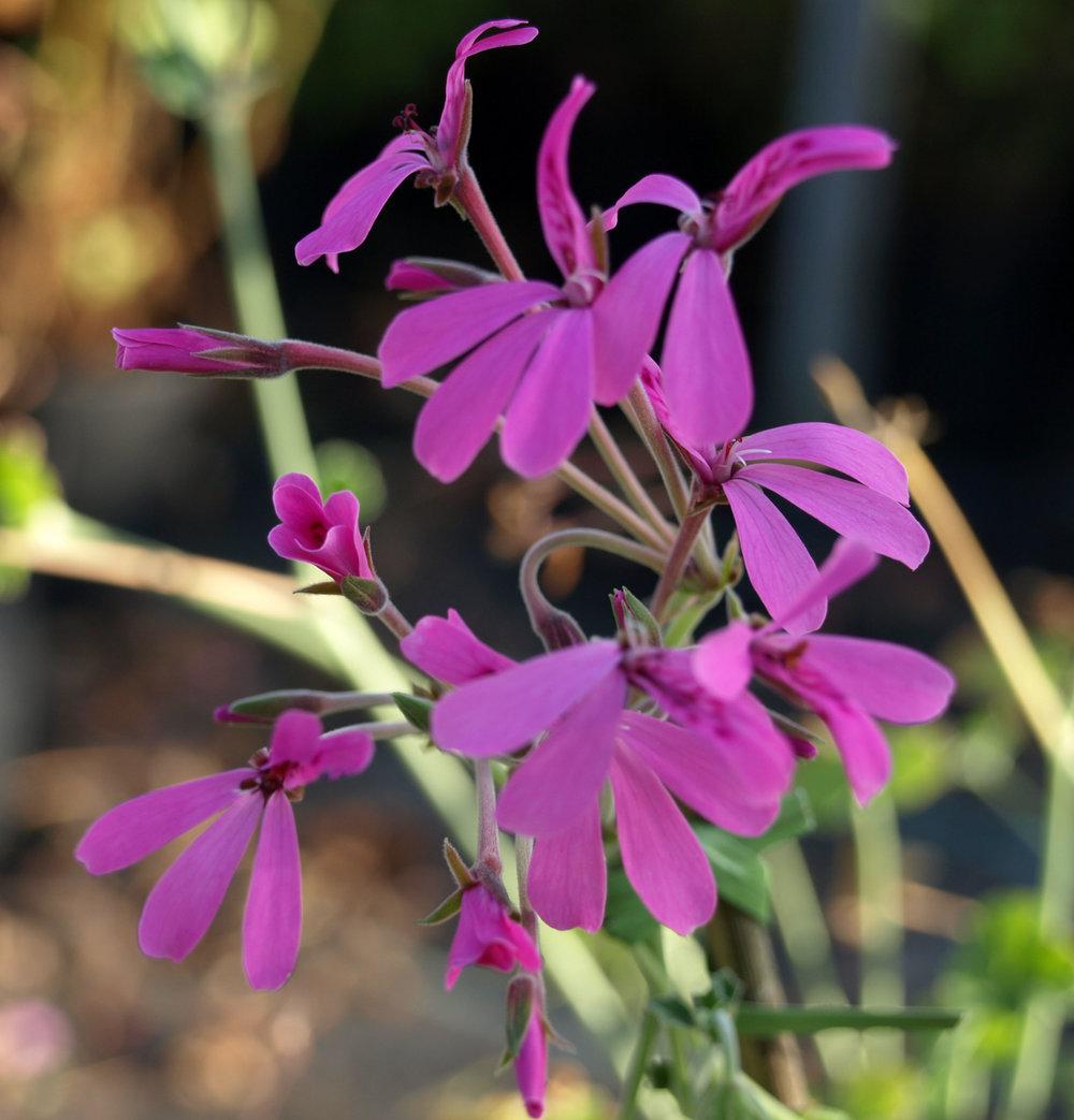 Pelargonium 'Lavender Lindy' - (Doftpelargon-Gruppen)Tydlig lavendeldoft. Små lila blommor på långa stänglar. Bladen är grågröna, trelobade och släta. Kompakt och buskigt växtsätt.Pris: 55:-