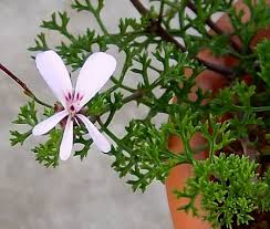Pelargonium fruticosum - (Art-Gruppen)Blommorna är ljust rosa, enkla och påminner om små fjärilar. Mörka stänglar. Bladen är djupgröna, ormbunkslika, djupt flikade och sirligt krusiga. Buskigt växtsätt.