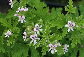 Pelargonium 'Fragrant Frosty' - (Doftpelargon-Gruppen)Citrusdoft. Vita / ljust rosa yppiga blommor med mörka ögon. Bladen är friskt gröna med cremevit, frostad bladkant, djupt flikade. Buskigt växtsätt.Pris: 110:-