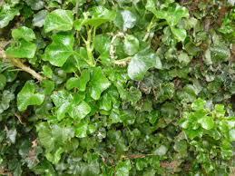 Hedera Helix 'Conglomerata' - Bladen är trelobade med markerad mittlob, mellanstora och mörkt gröna. Långsamväxande och uppåtsträvande. Intressant i kruka. Halvskugga.