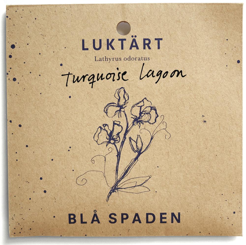Turquoise Lagoon - En ny typ av luktärt. Artkorsande mellan L. odoratus och L. belinensis. Blommorna öppnar sig i lavendellila och övergår i turkos.