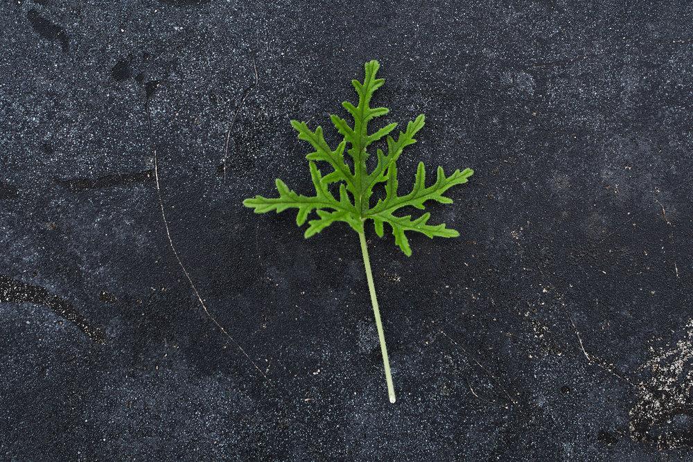 Pelargonium 'Candy Dancer' - (Doftpelargon-Gruppen)Rosdoft. Ljust rosa blom med ceriserosa ränder. Bladen är friskt gröna, djupt finflikade med tandade kante. Kraftfull växt.Pris: 55:-