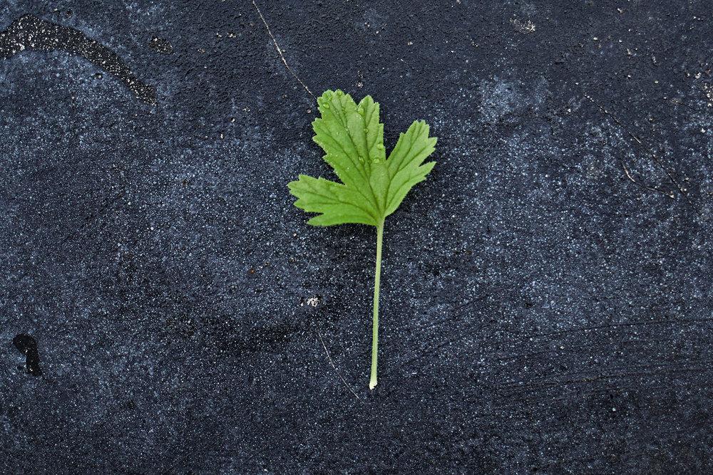 Pelargonium 'Citronella' - (Doftpelargon-Gruppen)Påtaglig citrusdoft. Ljust rosa blom med ceriserosa ränder. Bladen är djupt flikiga med tydliga nerver.Buskigt växtsätt.Pris: 55:-