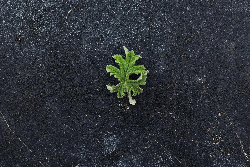 Pelargonium 'Gravolens Bontrosai' - (Doftpelargon-Gruppen)Rosdoft. Ljust rosa blommor. Bladen är djupgröna, kraftigt krusade. Dess form och växtsätt påminner om ett bonsaiträd och härleder växtens namn.Pris: 110:-