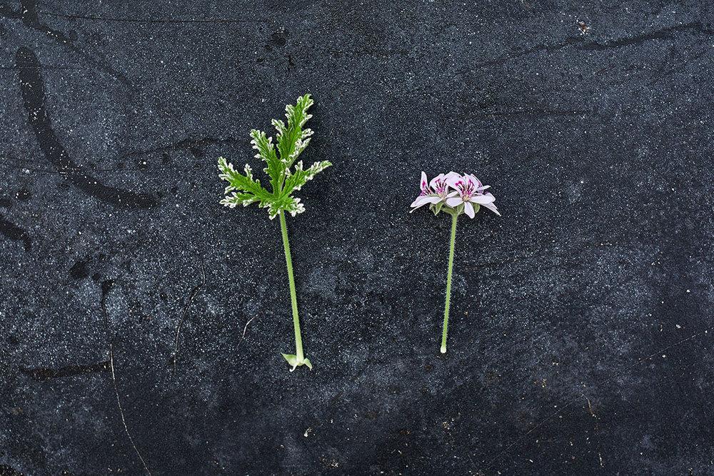 'Fragrant Frosty' - (Doftpelargon-Gruppen)Citrusdoft. Vita / ljust rosa yppiga blommor med mörka ögon. Bladen är friskt gröna med cremevit, frostad bladkant, djupt flikade. Buskigt växtsätt.Pris: 110:-