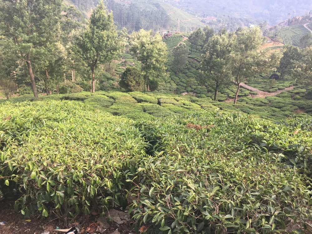 Tea plants can grow into extremely tall trees.  Here at the plantation they are cut down for ease of harvesting approximately every 5 years (although each plant here is now more than a hundred years old).