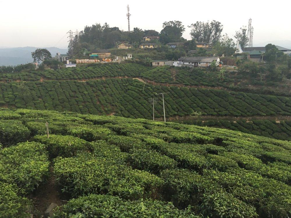 The tea plantation. The tea grows on terraces that climb the mountain walls