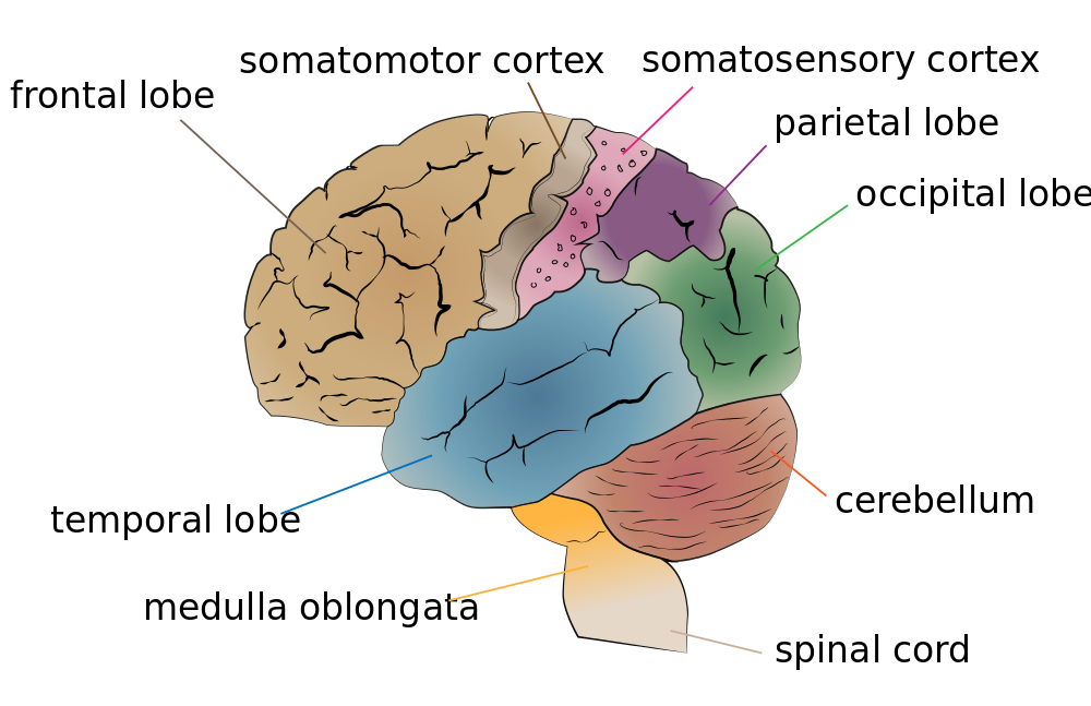 Oversimplified picture of large brain areas based mostly on the physical structure of the brain.
