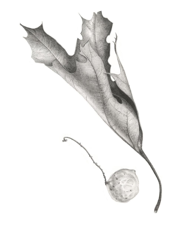 Oak Leaf & Gall