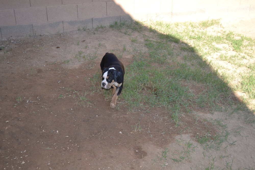 Male 3   Black Tri male born June 11, 2017. $2000- Adopted, Residing in San Tan Valley, AZ.