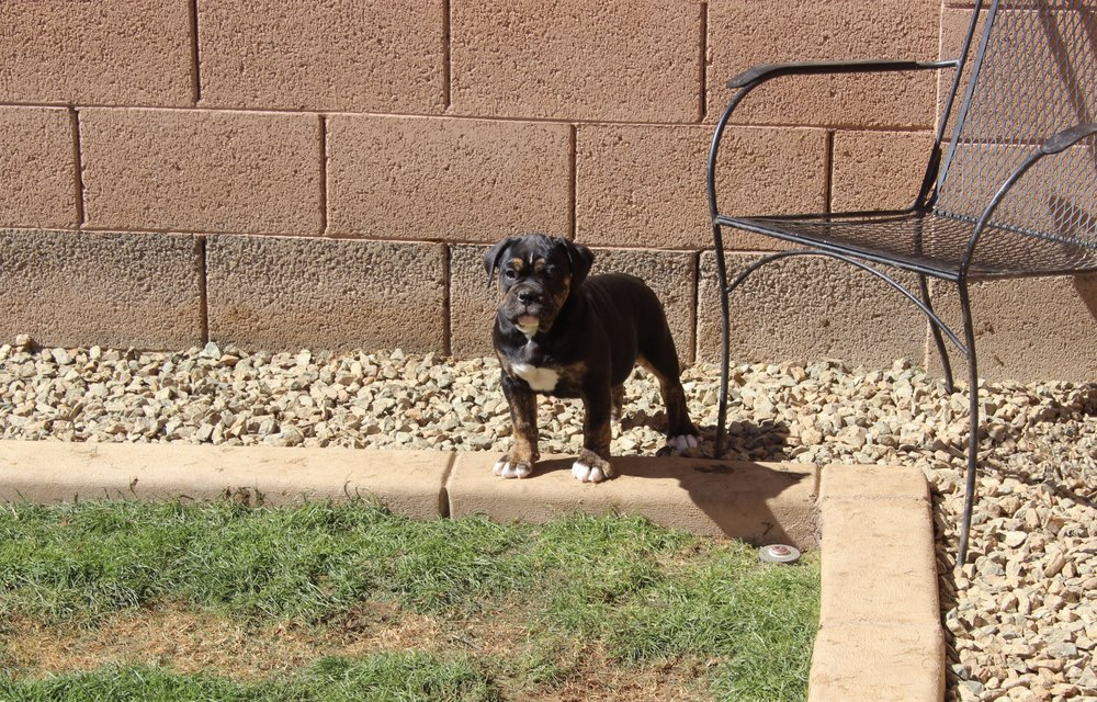 Spade- Black Tri/Brindle female $2000 - Adopted, Residing in Phoenix, AZ.