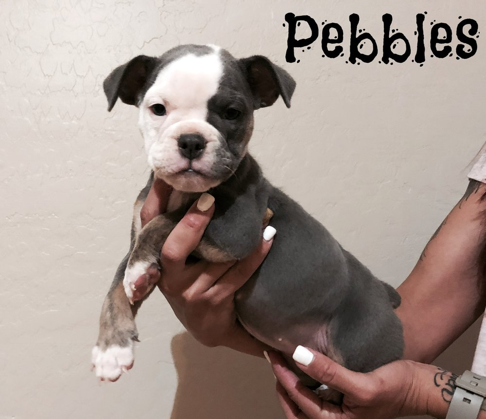 Pebbles- Blue Tri/Brindle Female- Adopted- Residing in San Tan Valley, AZ